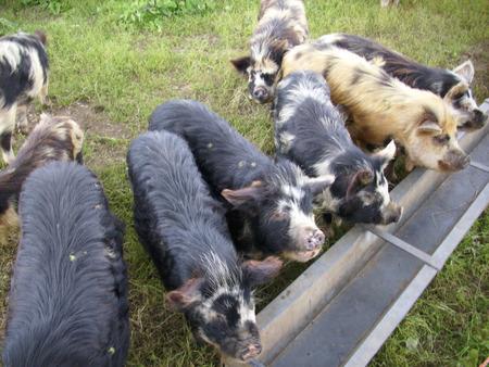 trough: Pigs by a trough Stock Photo