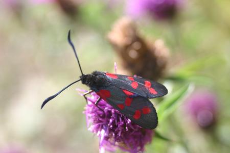 Burnet moth on knapweed Stock Photo
