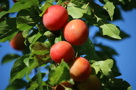 late summer: Late summer red plums on tree Stock Photo