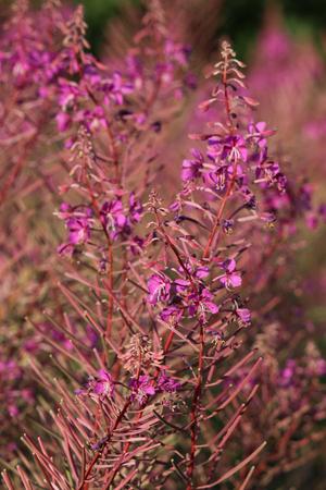 angustifolium: Rosebay willowherb flowers