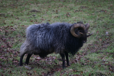 breed: Rare breed sheep