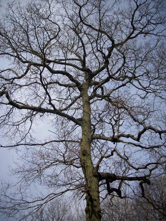 deciduous woodland: Winter oak tree Stock Photo