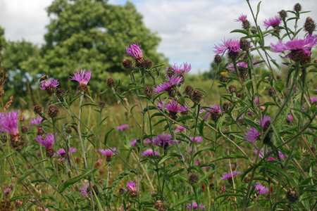 greater: Greater knapweed in meadow
