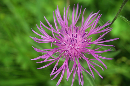 greater: Greater knapweed flower