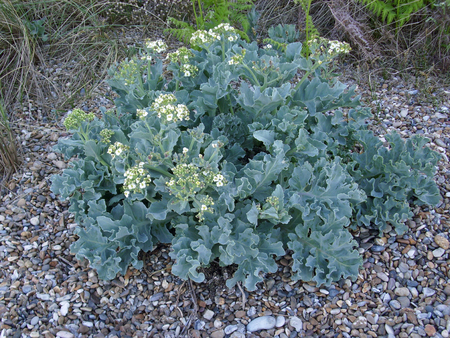 flowering kale: Flowering sea kale