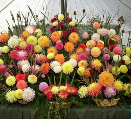 horticultural: Horticultural show chrysanthemum exhibit