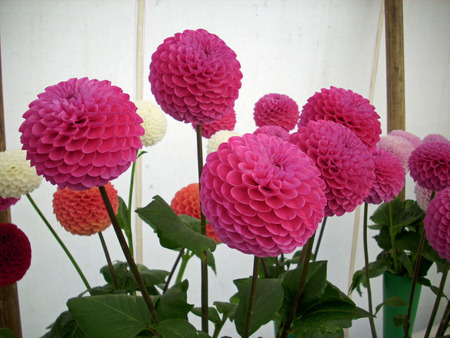 horticultural: Horticultural show dahlia exhibit Stock Photo