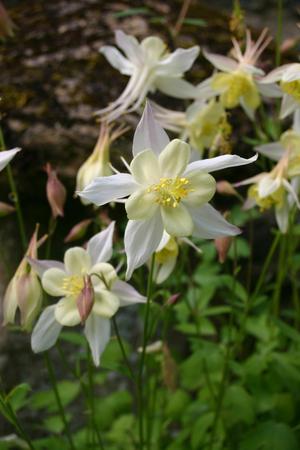 aquilegia: White Aquilegia flowers