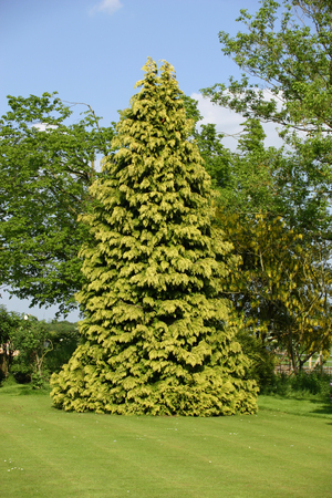 conifer: Conifer in garden