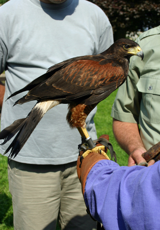 gloved: Hawk on gloved hand Stock Photo