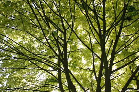 tree canopy: Looking up at tree canopy