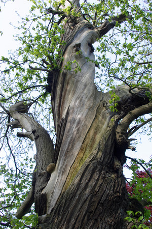 recently: Old sweet chestnut tree