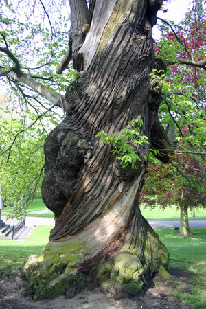 barks: Old sweet chestnut tree