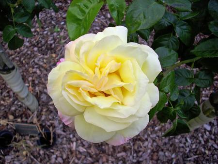 Yellow standard rose flower