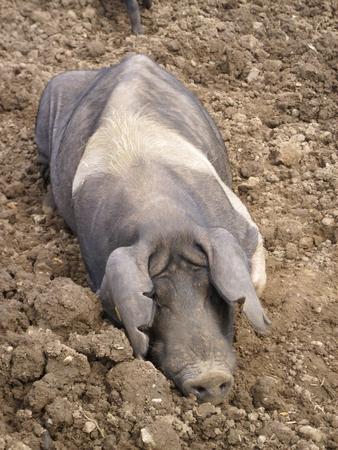 muddy: Muddy pig in field