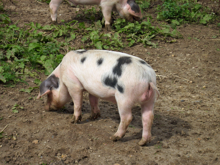 rooting: Muddy pigs in field Stock Photo