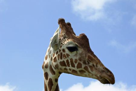 ungulate: Giraffe head