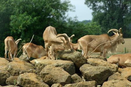 ungulate: Barbary sheep