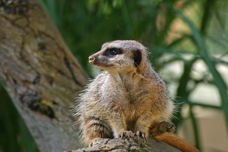 and diurnal: Meerkat on log