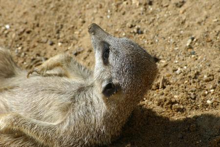 woken: Meerkat waking up Stock Photo