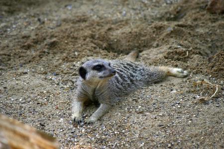 and diurnal: Meerkat laying down Stock Photo