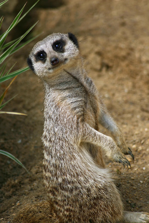 pup: Meerkat pup