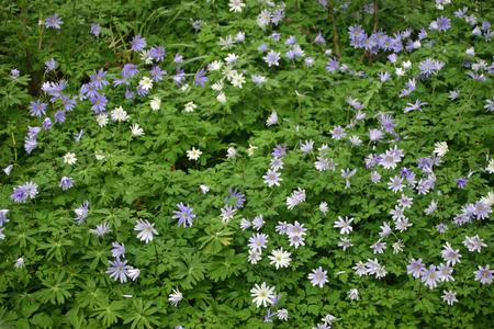 anemones: Purple Anemones