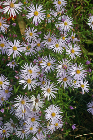 Pale lilac aster flowers