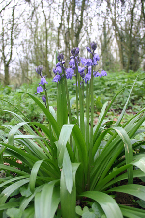 Bluebells in woodland