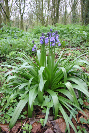 bluebell woods: Bluebells in woodland