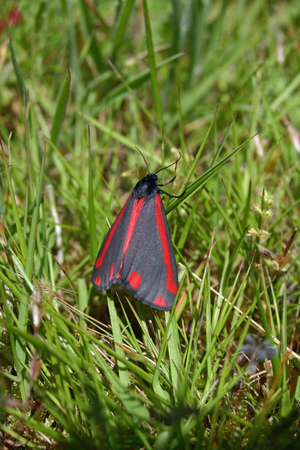 lepidoptera: Cinnabar moth on grass