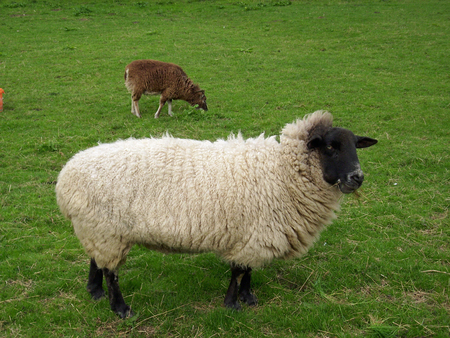 black headed: Black headed sheep