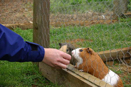 are fed: Guinea pigs being fed in cage