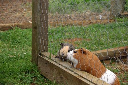 cavie: Le cavie in gabbia
