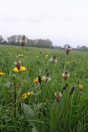 plantain: Ribwort plantain in meadow Stock Photo