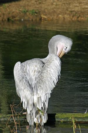 preening: Pelican preening feathers