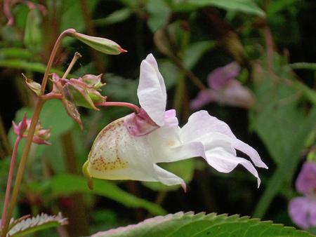 balsam: Himalayan balsam flowers