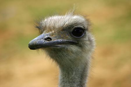ostrich: avestruz la cabeza y cuello