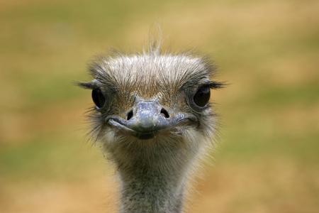 flightless: Ostrich head and neck