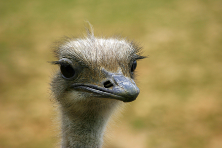 ratite: Ostrich head and neck