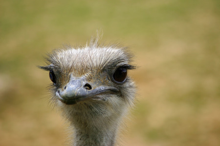 struthio camelus: Ostrich head and neck