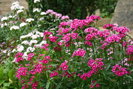 ornamental garden: Sweet william flowers