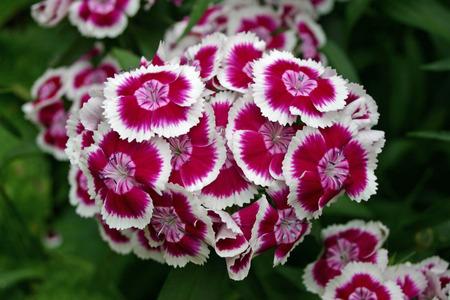 william: Sweet william flowers