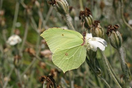 gonepteryx: Brimstone butterfly
