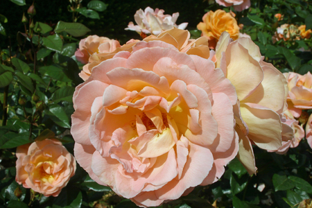 centres: Pink roses