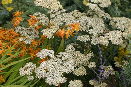 yarrow: White yarrow flowers