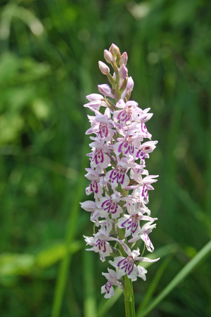 spotted: Common spotted orchid flower