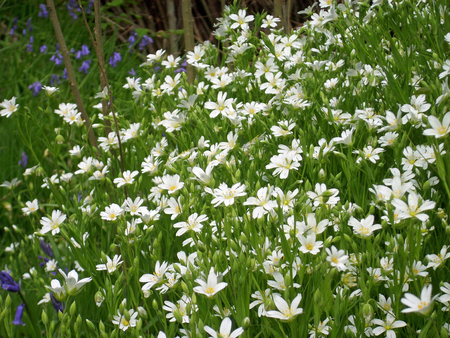 greater: Greater stitchwort Stock Photo