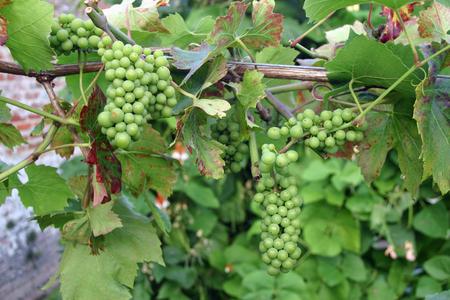 developing: Developing green grapes