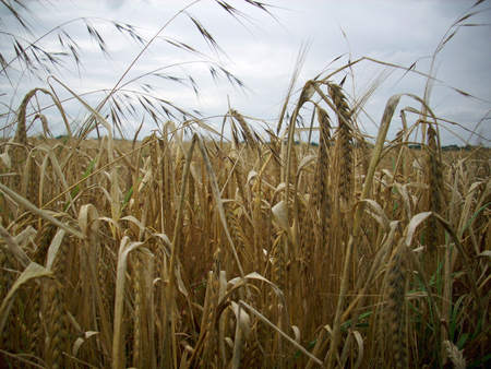wild oats: Wheat ready for harvest